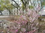 blossoming May 2016: scene of Qiqihar, northeastern China, QRRS Dorms and its mini park flowers.